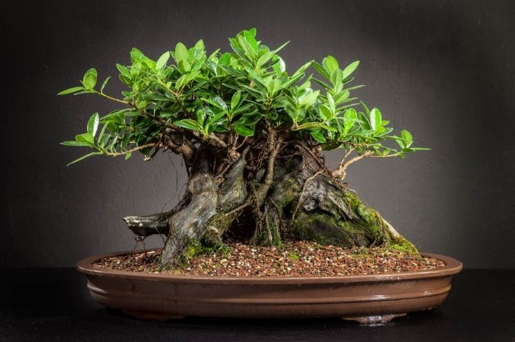 Bonsai ficus in interno