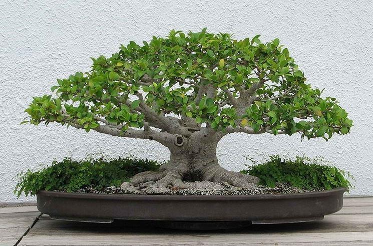 pianta bonsai ficus