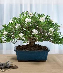Bonsai gardenia schede bonsai - Gardenia pianta da interno o esterno ...
