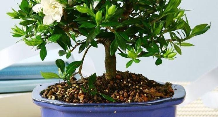 bonsai gardenia