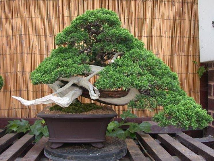Bonsai ginepro - Schede Bonsai