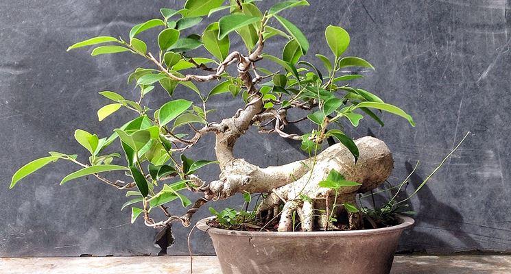 Innaffiare il bonsai ginseng