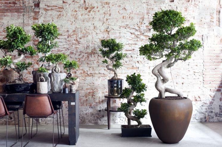 Esemplari di bonsai ginseng
