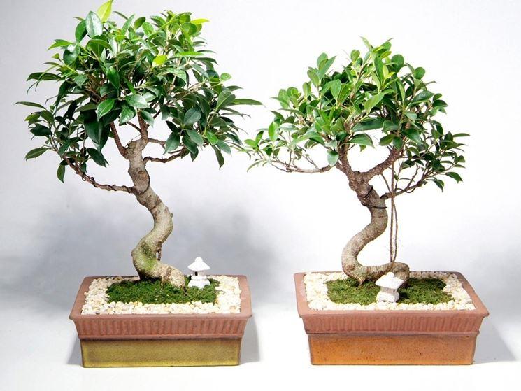Curare il bonsai ginseng