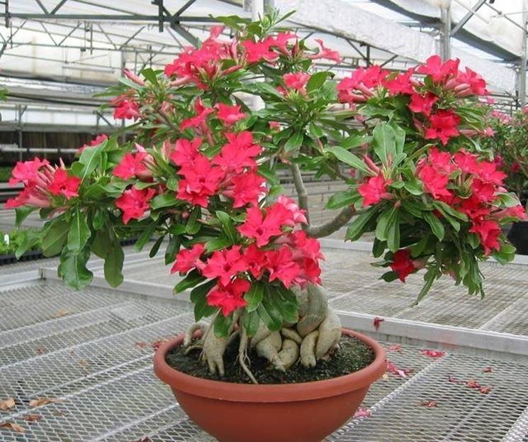 Bonsai hibiscus schede bonsai for Ibisco in inverno