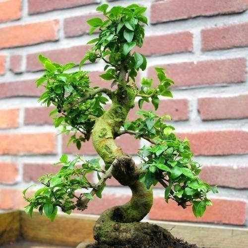 bonsai ligustrum schede bonsai. Black Bedroom Furniture Sets. Home Design Ideas