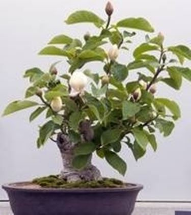 Bonsai Magnolia Schede Bonsai