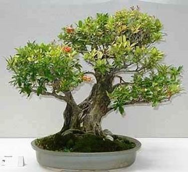 bonsai melograno