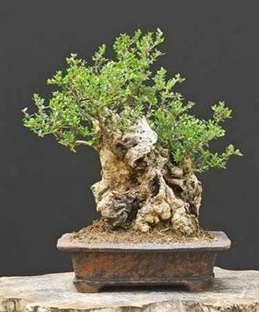 Bonsai olivo schede bonsai for Olivo bonsai prezzo