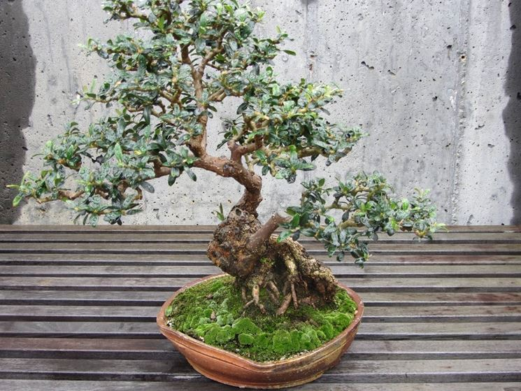 bonsai olivo schede bonsai