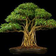 creare bonsai