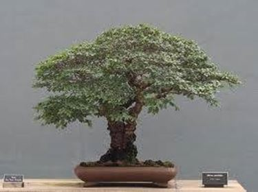 Bonsai olmo - Schede Bonsai 5345006ed997
