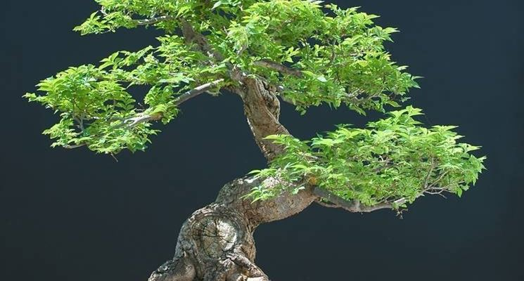 bonsai olmo