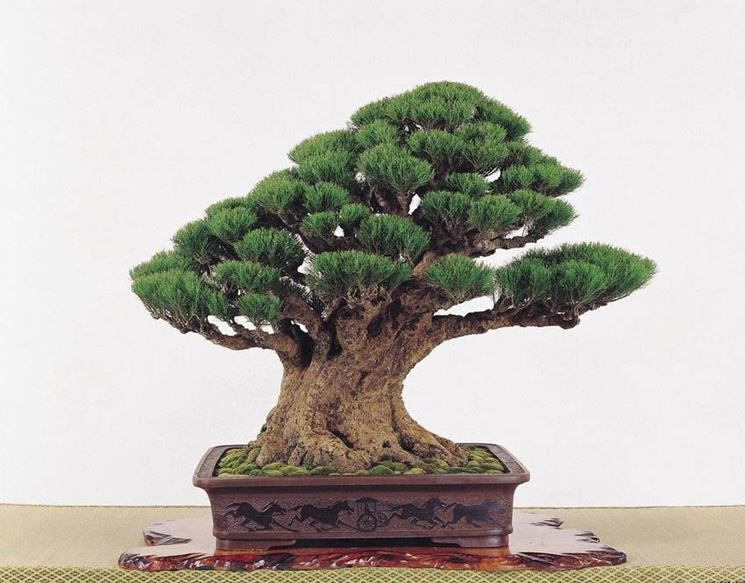 bonsai quercia schede bonsai