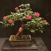 bonsai rose