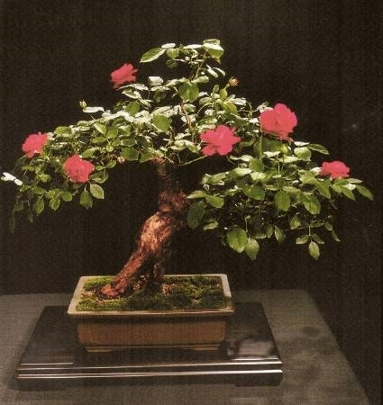 Bonsai rose schede bonsai for Olivo bonsai prezzo