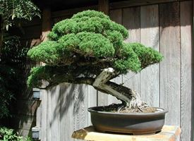 coltivare bonsai