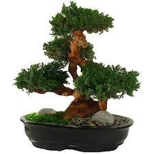 Cura bonsai schede bonsai for Bonsai cura
