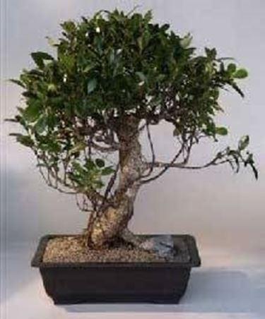 ficus bonsai