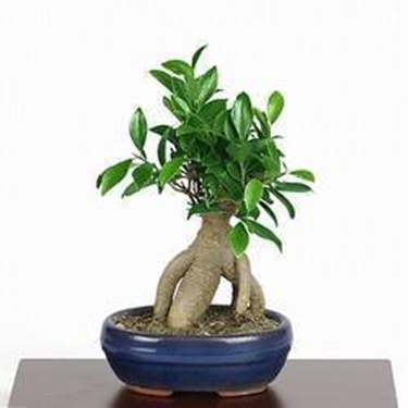 ficus ginseng schede bonsai bonsai ficus. Black Bedroom Furniture Sets. Home Design Ideas