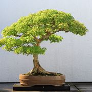 bonsai significato