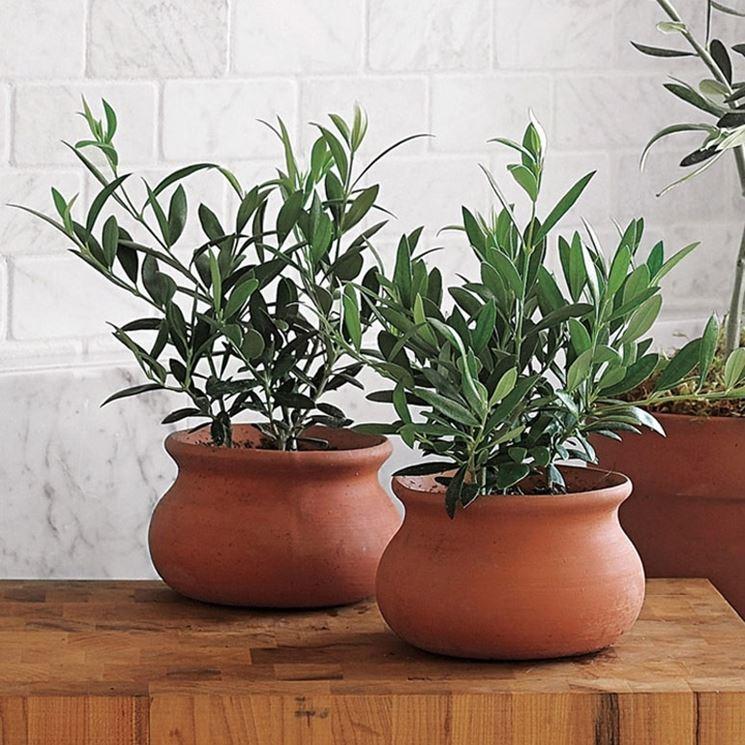olivo bonsai in vaso