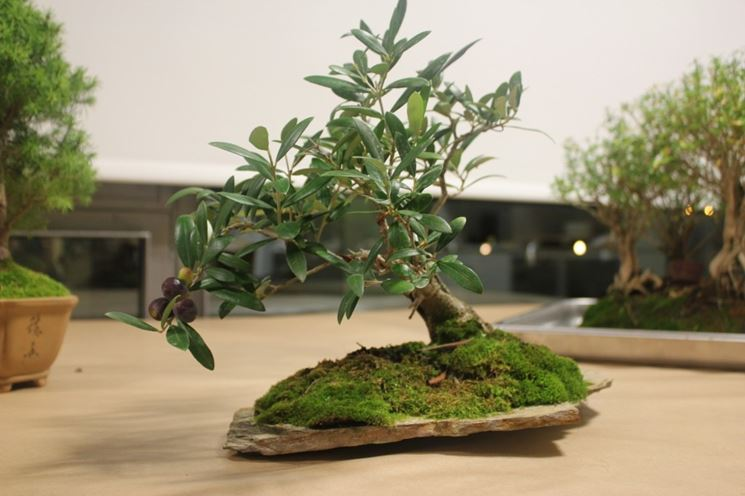 Il bonsai olivo schede bonsai coltivare bonsai olivo for Olivo bonsai prezzo