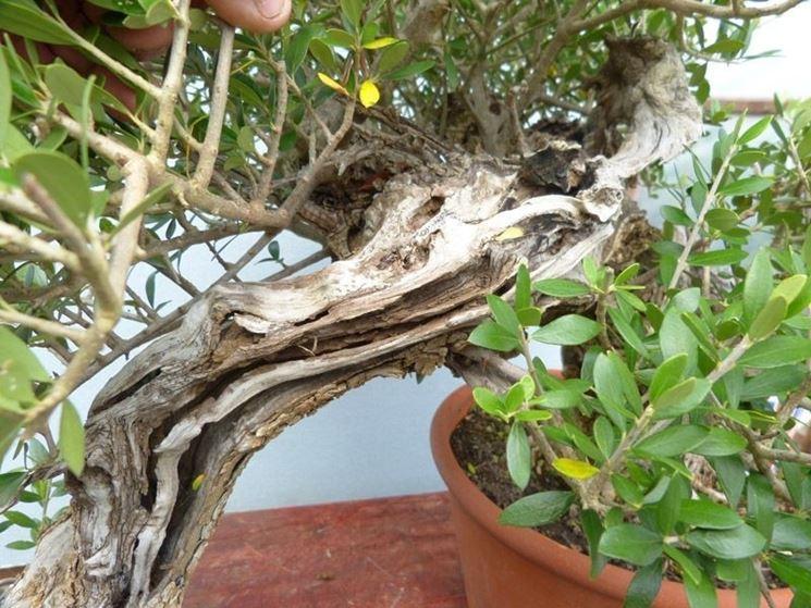 Foglie gialle olivo
