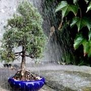 innaffiare bonsai