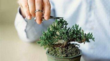 potare bonsai