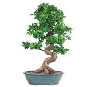 ficus bonsai