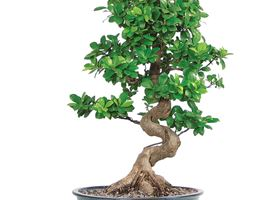 Potatura ficus bonsai