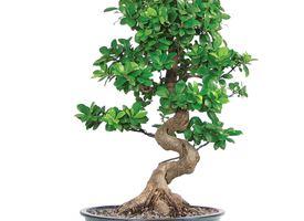 Potatura ficus bonsai