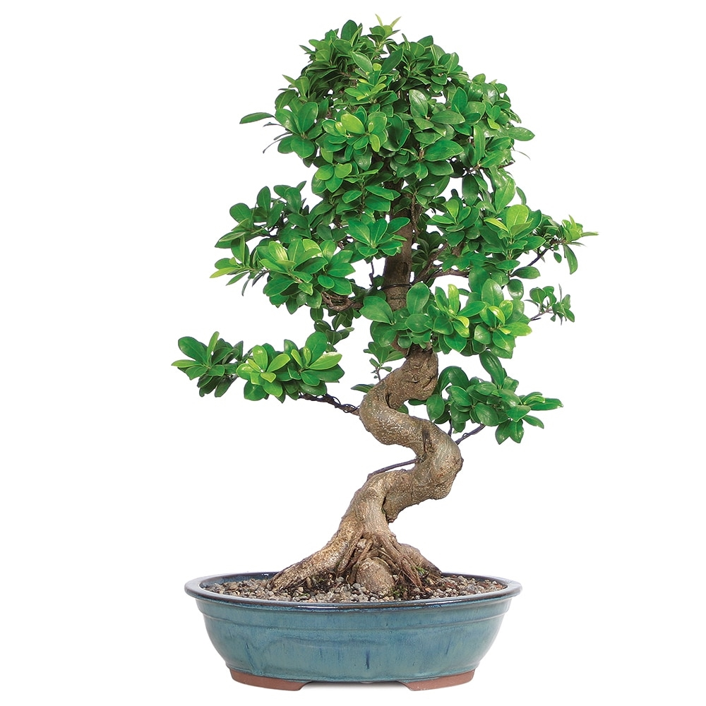 potatura ficus bonsai schede bonsai come potare un
