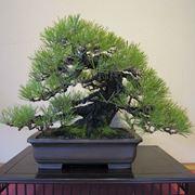 bonsai prezzi