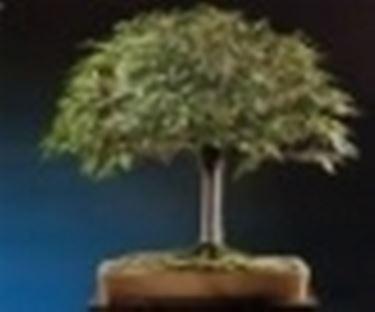 bonsai scopa