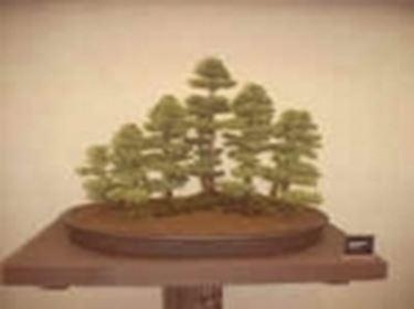 bonsai zattera