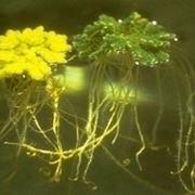 Azolla pianta