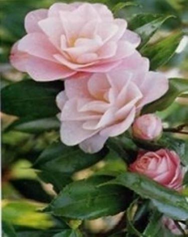 rosa calcio