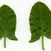 margine delle foglie