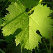 nervature foglie