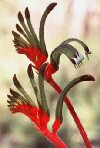 "Anigozanthos bicolor"""