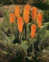 """Arum italicum"""""""