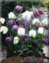 """Fritillaria imperialis"""""""