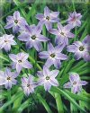 Ipheion uniflorum""