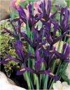 """Iris reticulata"""""""