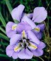 """Iris unguicularis"""""""
