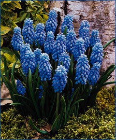 Muscari toxique ? Muscari_armeniacum