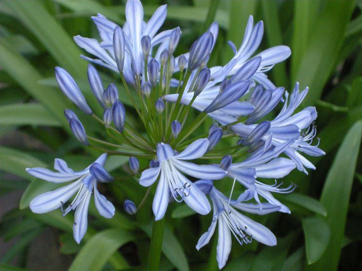 fiore agapanto