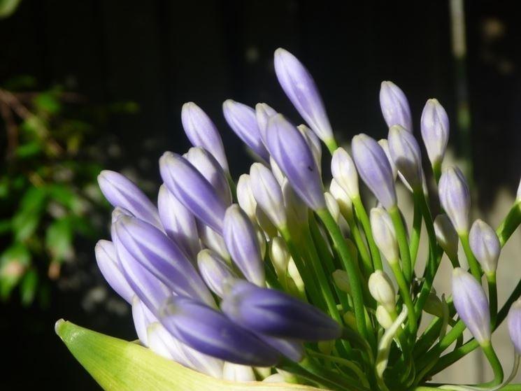 agapanto lilla